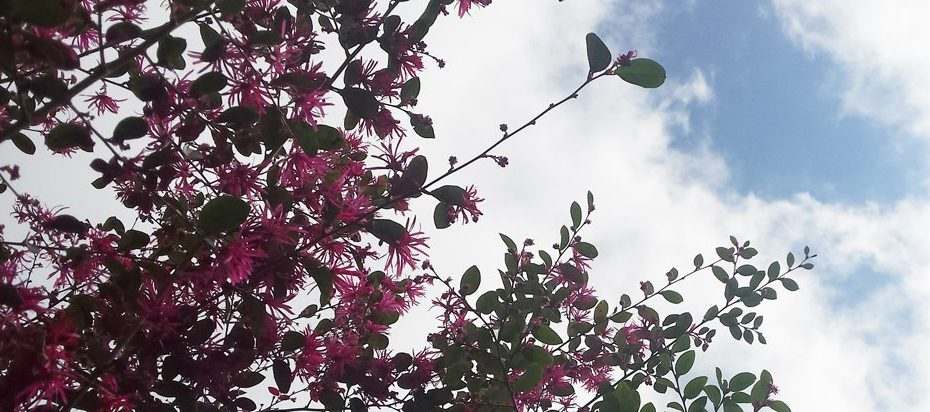 Pink blooming shrub reaching high to the sky with a break in teh white clouds displaying clear blue.