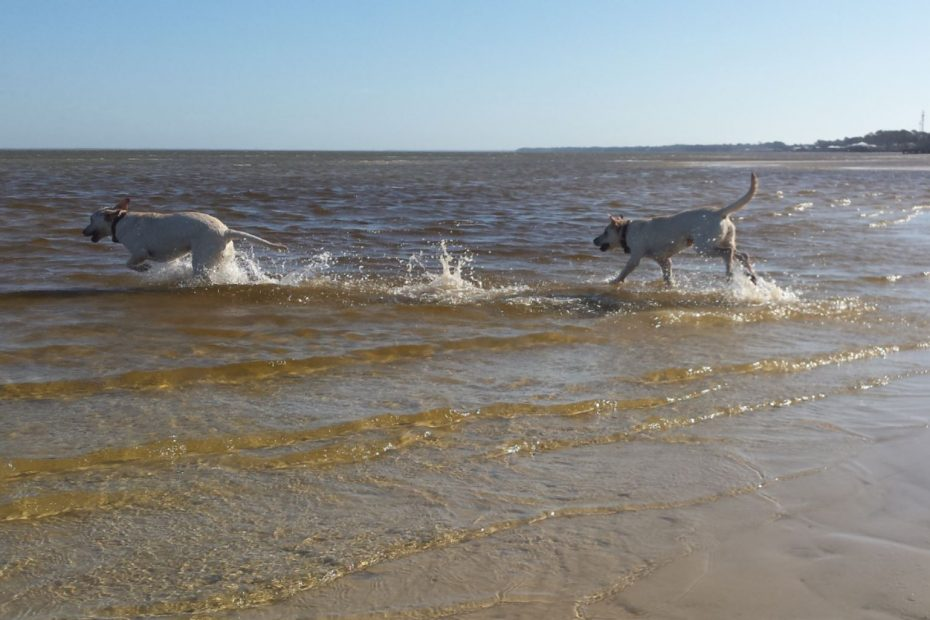 Two labs excitedly running from the sandy shore to the ocean deep.