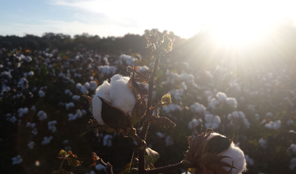 Plump cotton plant filled in a field with evening sun setting behind it.