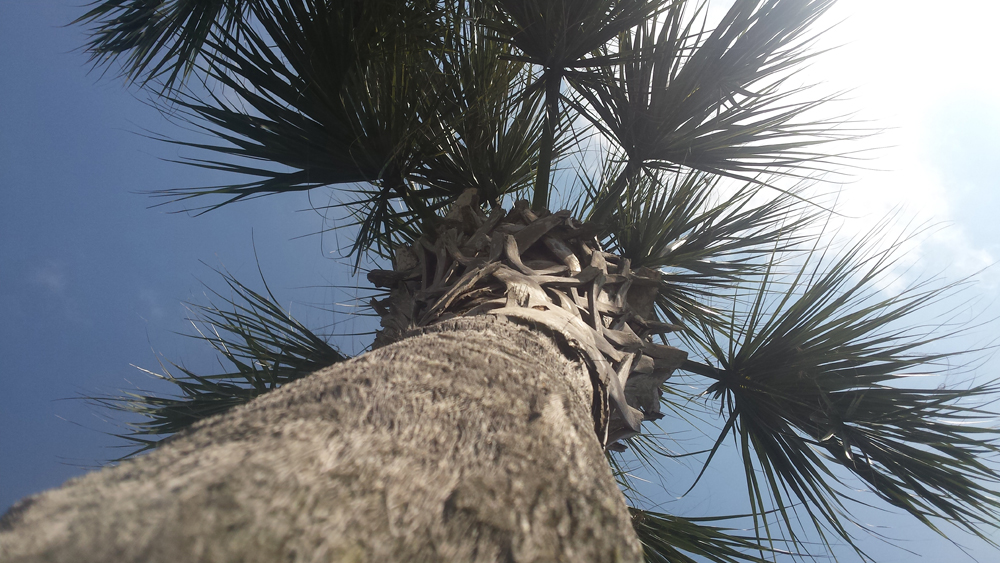 Looking up at a Palm Tree with the sun directly overhead shining through the palm top.