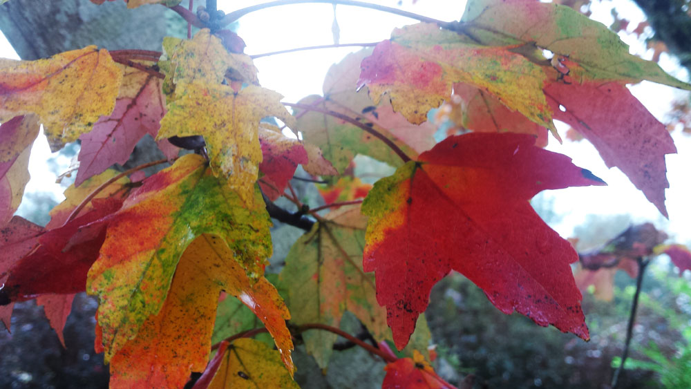 Fall maple leaves on a tree boasting the tones of God's creation in brilliant tones of red, yellow, and green.