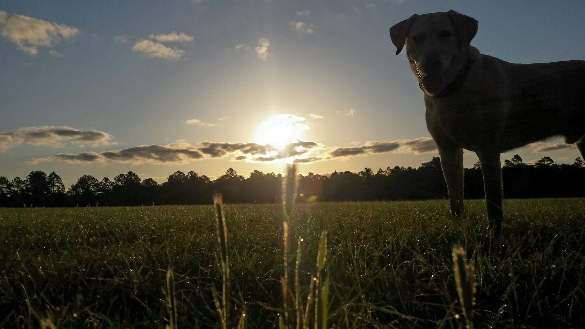 yellow lab standing in a field with sunrise behind him, ready to face the day with courage