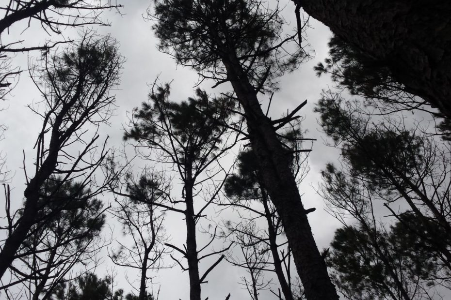 pine trees towering against a winter sky