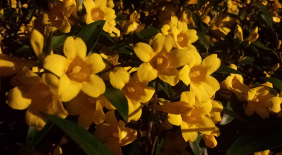 Brilliant yellow jasmine blossoms opening wide in the night time with a distant light shining on them, revealing their purpose and beauty.