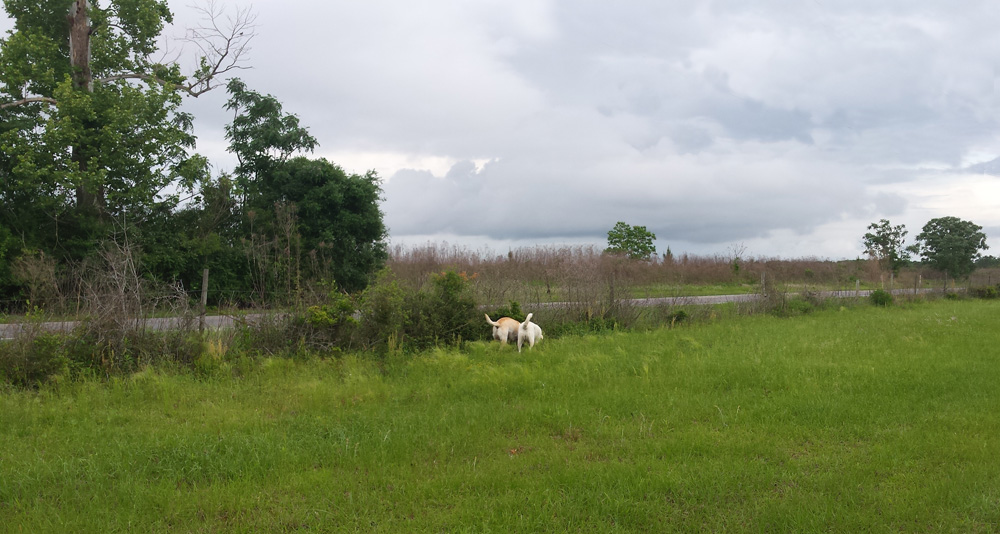 Two yellow labs standing with their tails in the air focused on a fragrant smell on the ground, surrounded by a lush green field with a fence as a boundary shielding them from the noise of the road.