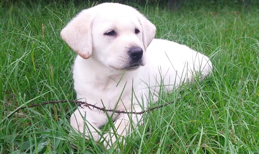 yellow lab puppy laying in the grass considering her purpose.