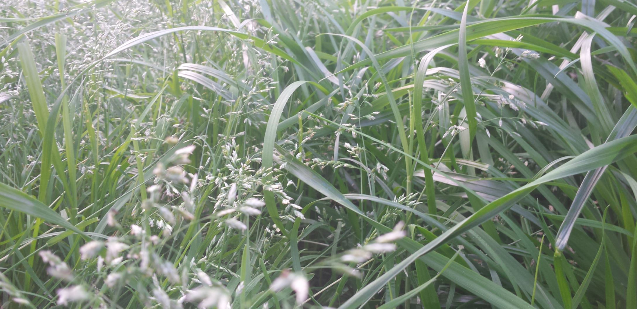 lush green grass laying over and lifting its grass seeds