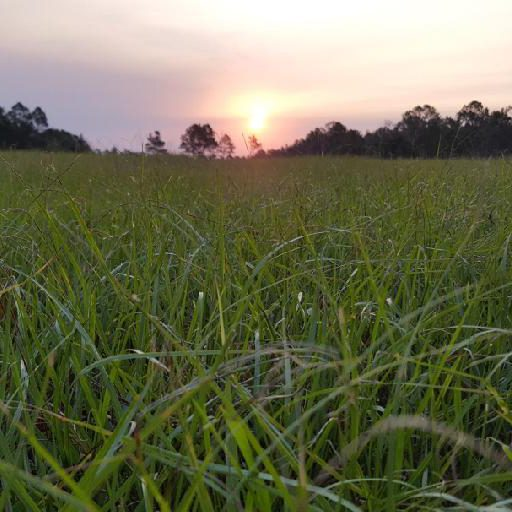 field of green dew soaked grass looking upt to a rising sun.