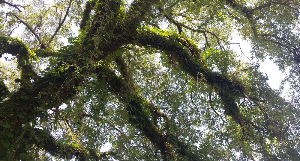 large old oak tree with branches reaching toward the heavens.