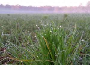 dew-grass