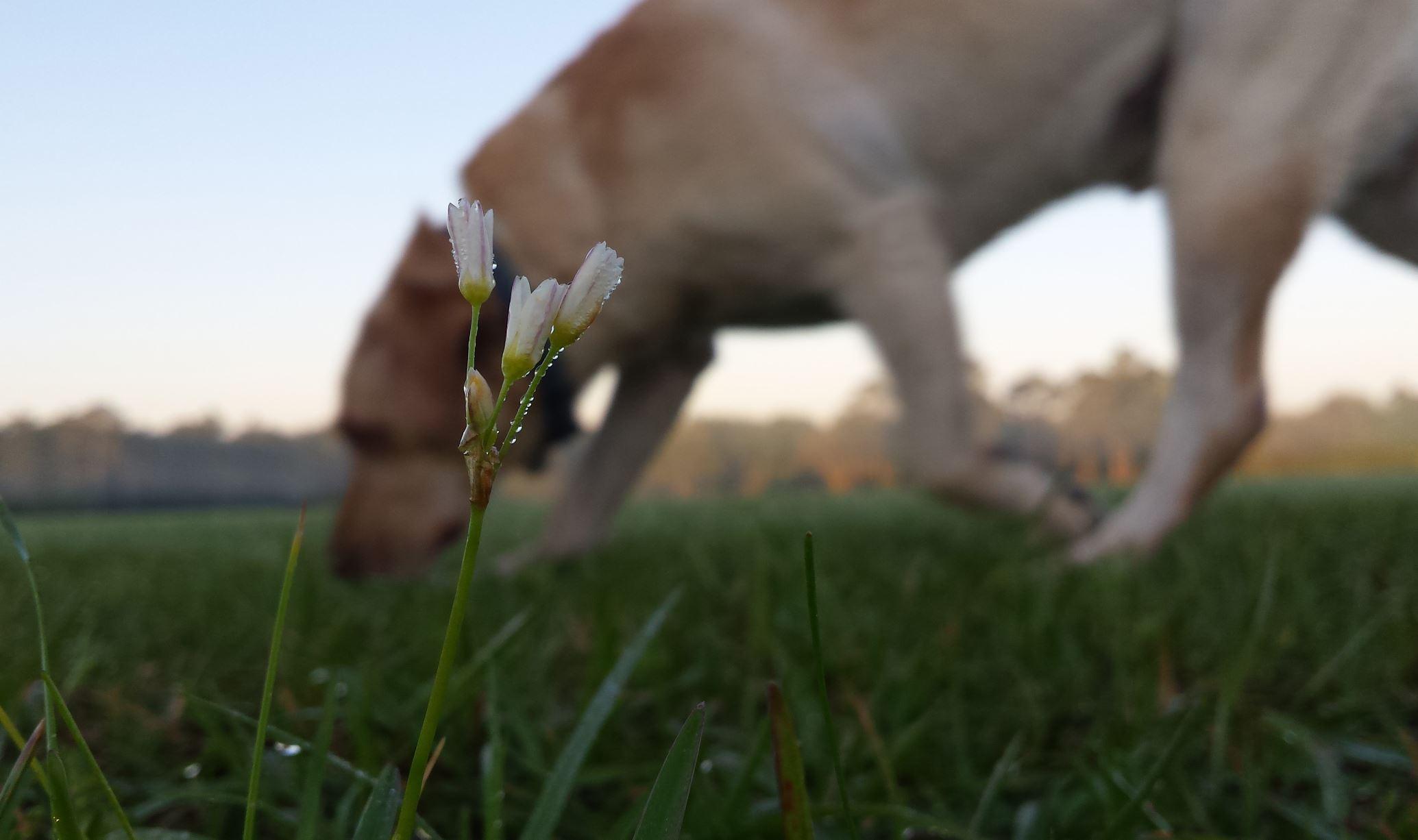 flower of field
