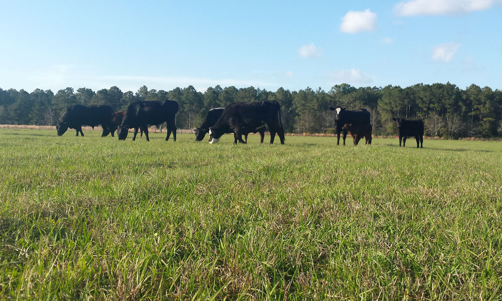 Black cows grazing gently in a green field.