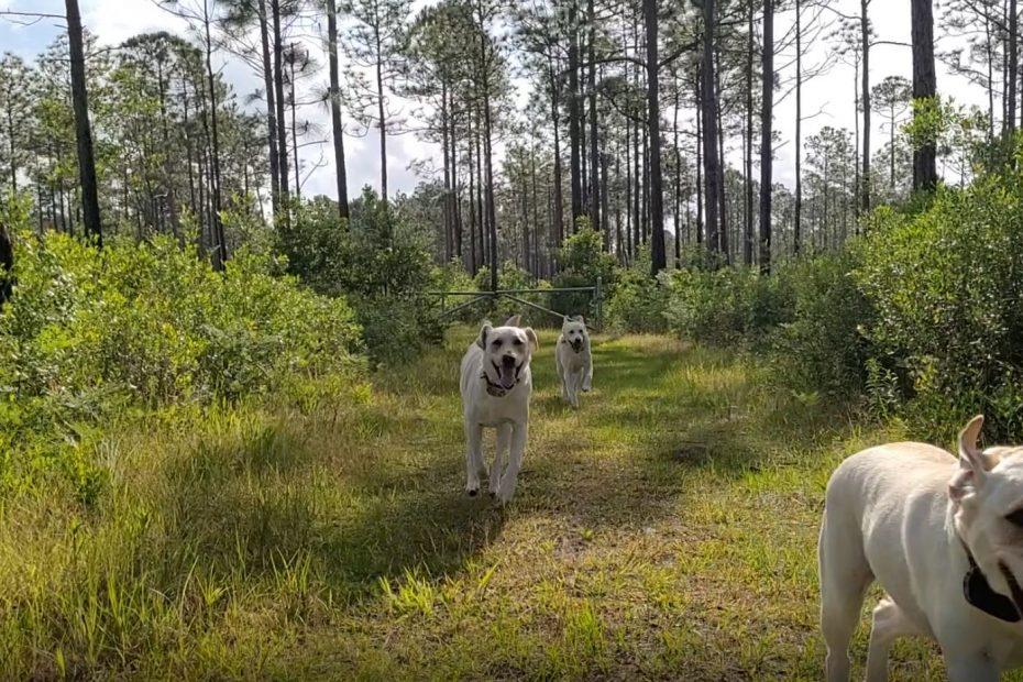 three yellow labs vigorously and joyfullyrunning down a woodsy path