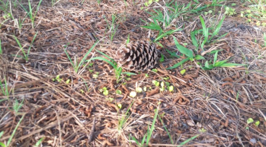 pinecone laying on a trail of pine needles