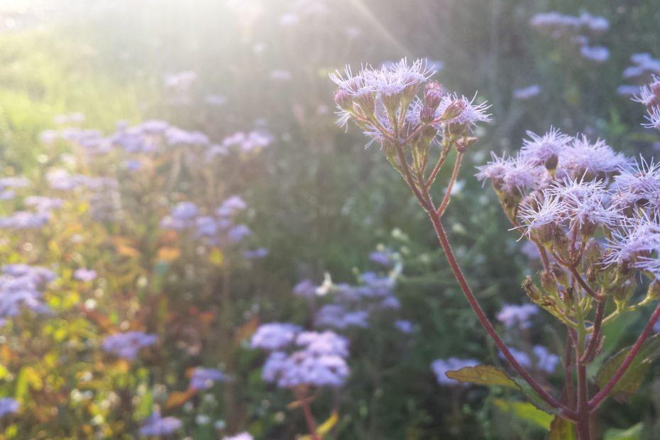 purple flowers in a field wtih sun shining on them.