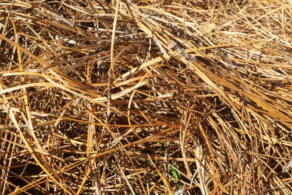 thick pine straw