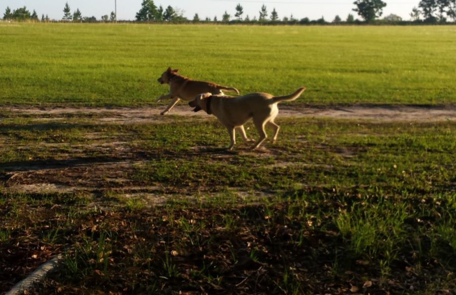 Two yellow labs happily running in a green field.