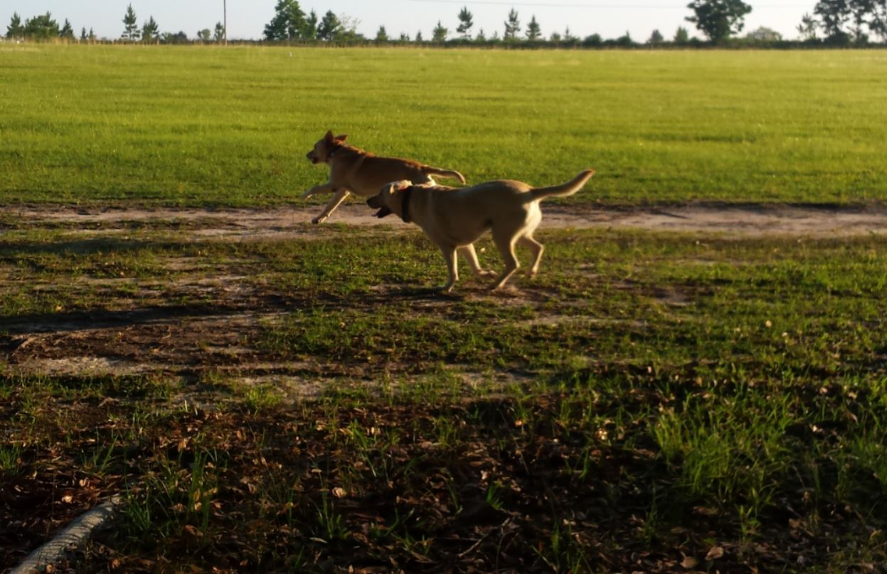 two yellow labs happily running in a field