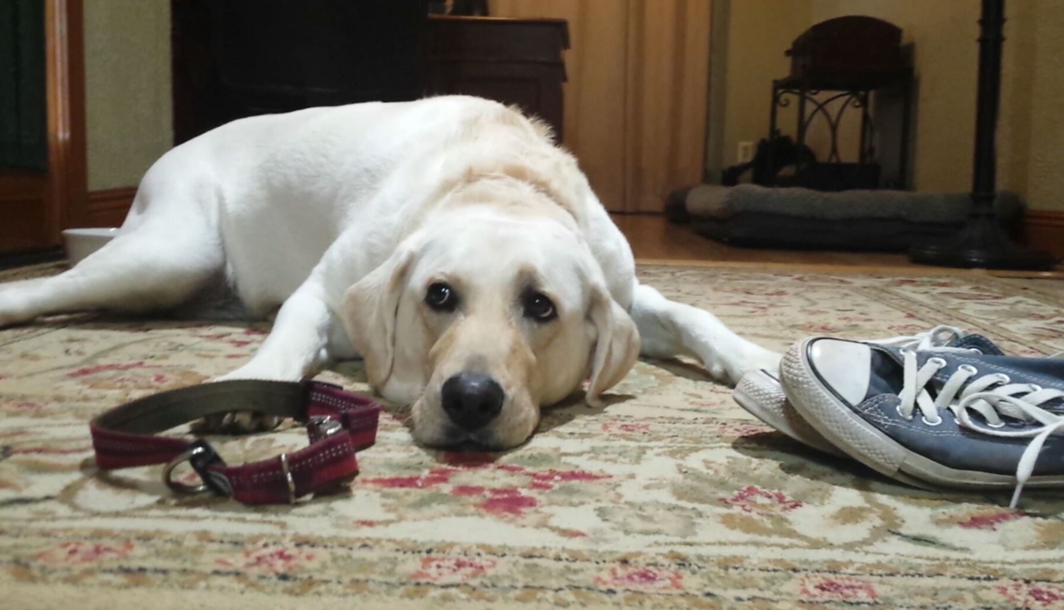 Yellow lab laying impatiently next to shoes and collar.