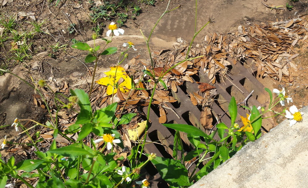 A blooming flower planted in a storm drain near a paved sidewalk, blooming and lifting its whole self to God in worship, blooming where it was planted.