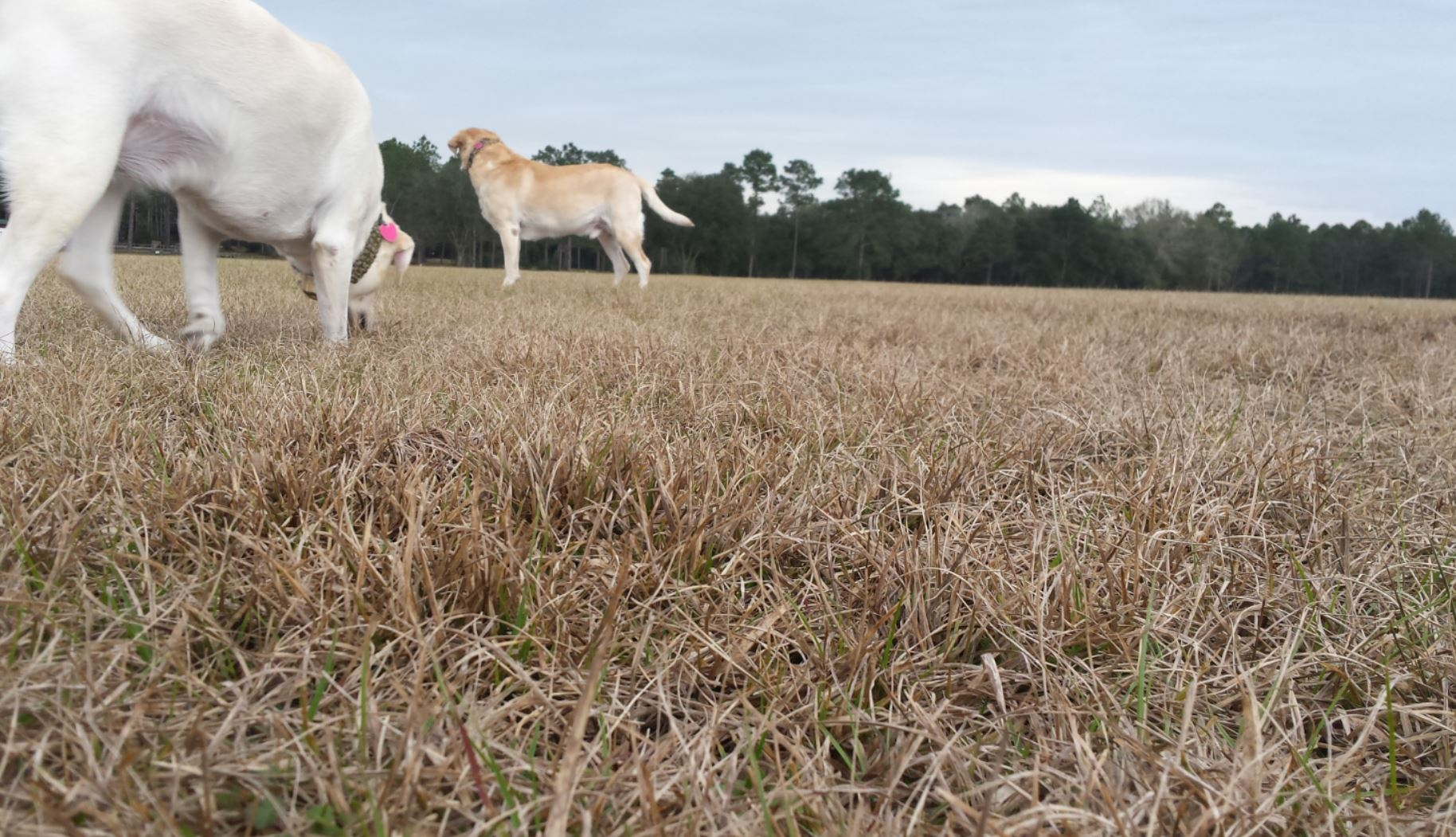 Two yellow labs standing in an open field of browned winter grass looking to new pathways to explore.