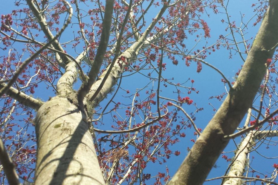 Looking up at a maple tree with pink buds about to spring forth with new life.