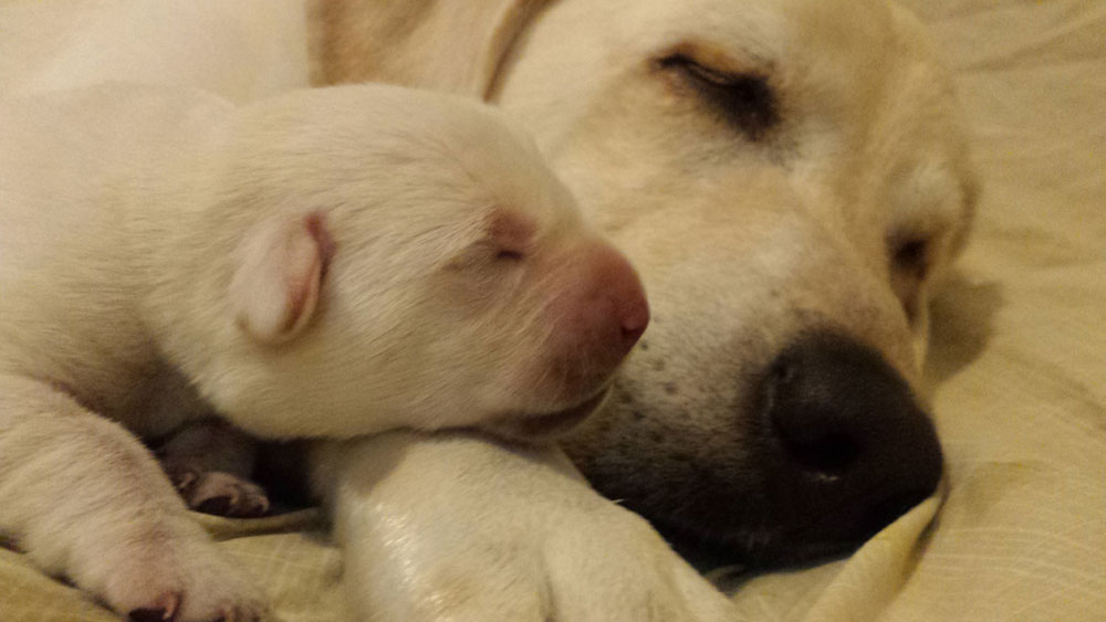 1 week old Yellow Lab Puppy resting its head on its mother's paw and nestling near her face. Both have eyes closed in peaceful sleep.