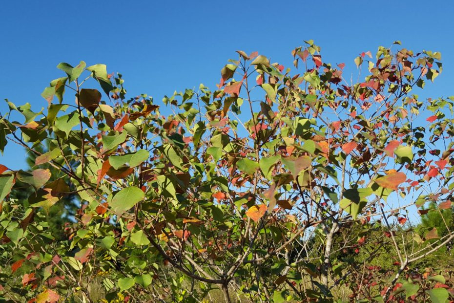 fall leaves colored with organge and red on a tree looking up to the blue sky
